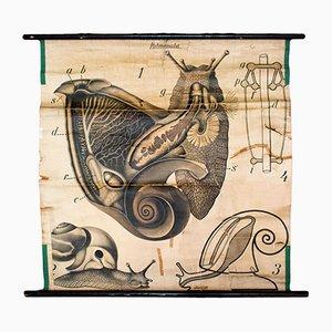 Vintage Wall Chart of a Slug by Paul Pfurtscheller for Martinus Nijhoff, 1920s