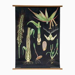 Botanische Lehrtafel von Jung, Koch & Quentell für Hagemann, 1960er