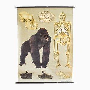 Affiche d'École Gorilla Vintage par Jung, Koch, & Quentell pour Hagemann