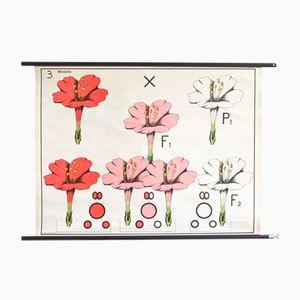 Botanische Schulwandkarte von Hagemann, 1960er