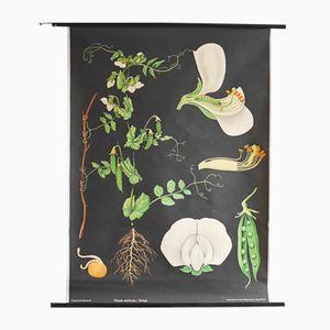 Botanisches Vintage Poster von Gottlieb von Koch für Hagemann, 1960er