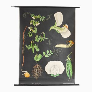 Vintage Botanical Illustration Poster Chart by Gottlieb von Koch for Hagemann, 1960s