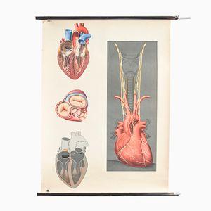 Illustrierte Herz Anatomie Grafik des Deutschen Anatomie Museums, 1960er