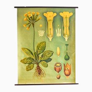 Impresión botánica de prímulas de Jung, Koch & Quentell para Hagemann, años 60