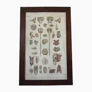 Affiche d'Études Anatomiques Antique