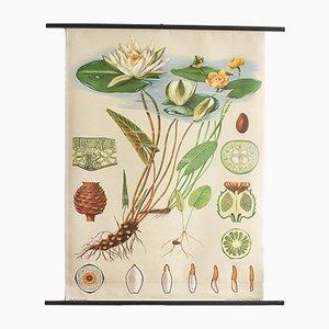 Botanischer Seerosen Druck von Jung, Koch & Quentell für Hagemann, 1960er