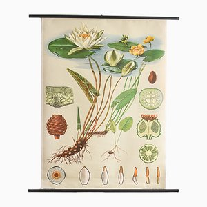 Water Lily Botanical Print by Jung, Koch & Quentell for Hagemann, 1960s