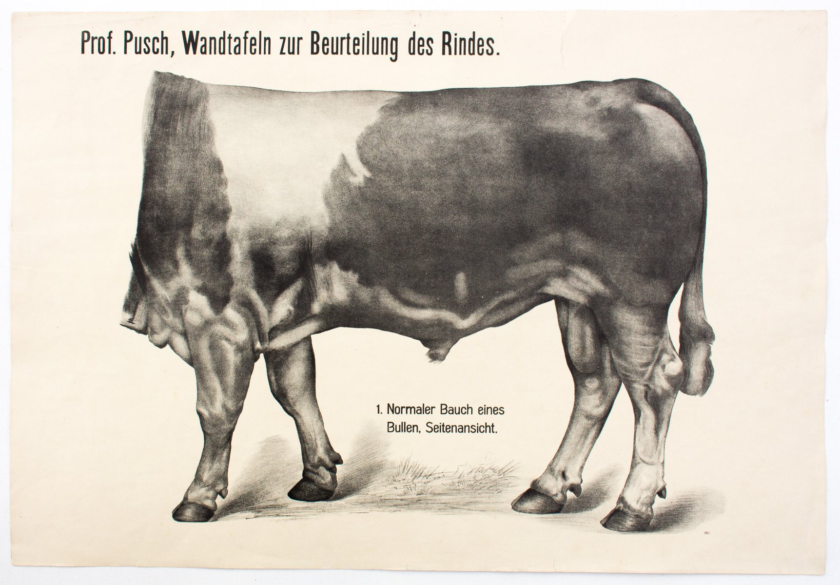 Antique Anatomy Of Cows Wall Chart By Dr G Pusch For Paul Parey